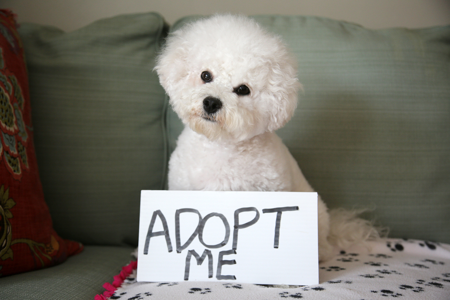 bigstock Pet Adoption concept Bichon F 301138708