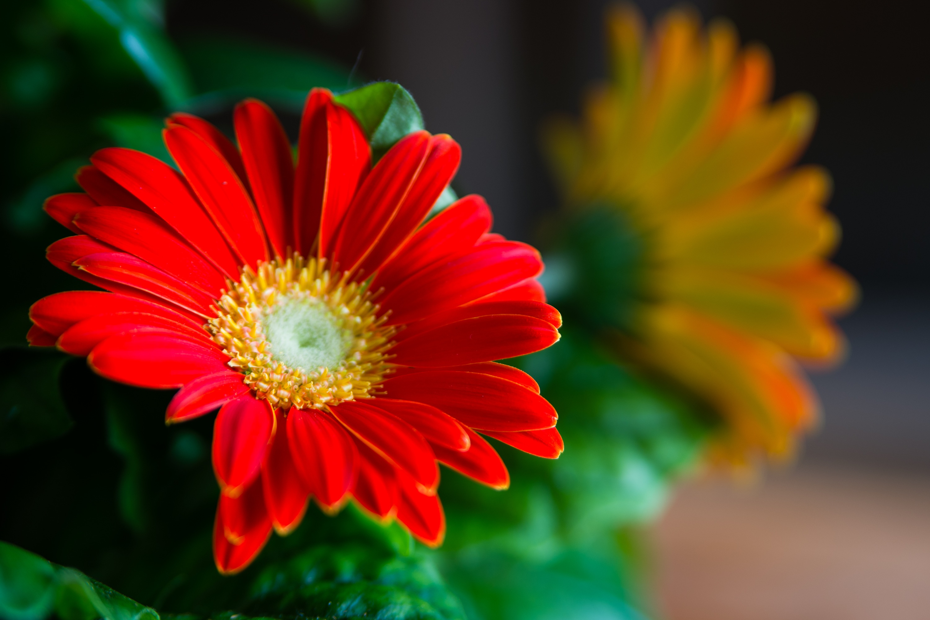 How To Care For Gerbera Daisies Inside Home Guides Sf Gate