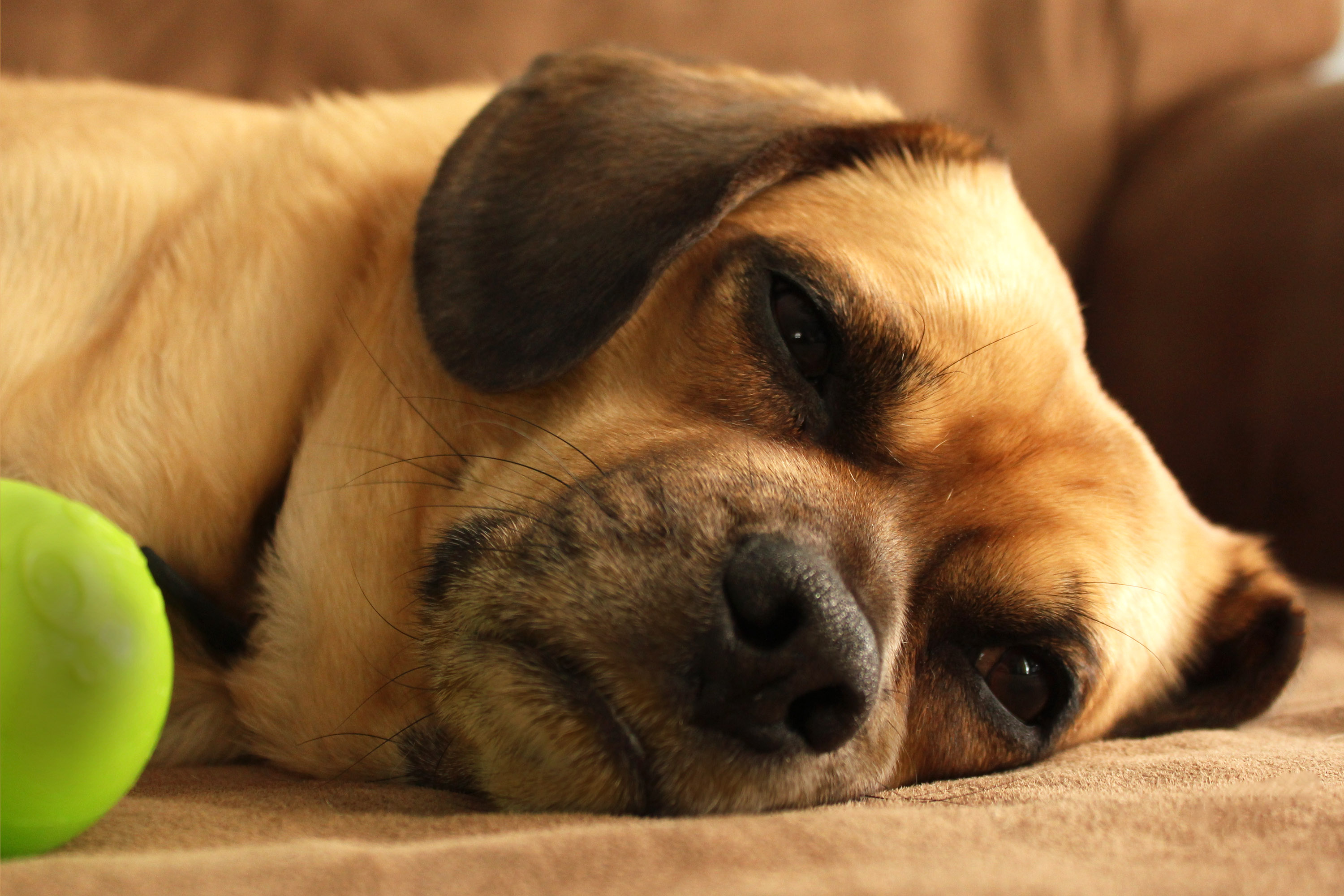 Clavamox Dosages for Canine Urinary Tract Infection   Cuteness