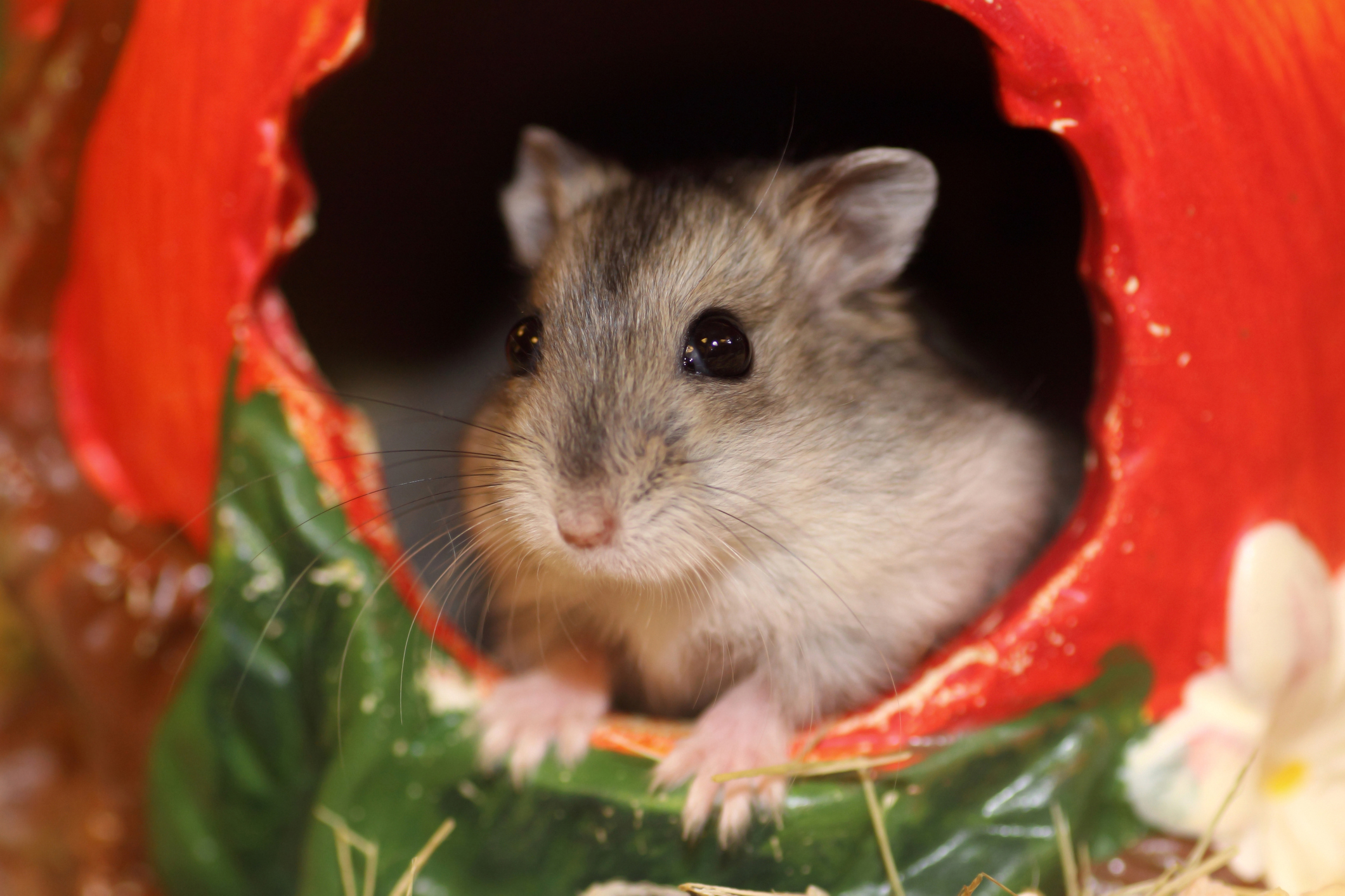 How to Know the Age of Your Hamsters | Cuteness