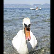 3D Lugrin swan