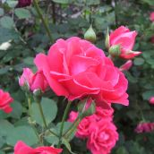 Roses In My Backyard