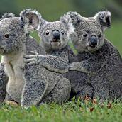 Koala shuffle