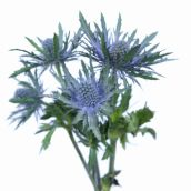 Blue Sea Holly