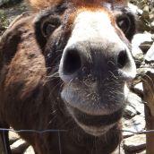 Korsischer Esel