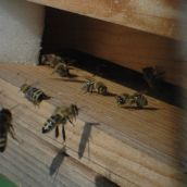 bees landing in front of entry of their hive