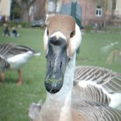 close-up on goose
