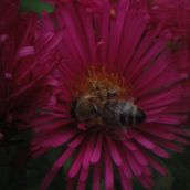 honey-bee on pink blossom