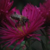 honey-bee on pink flower; extreme depth