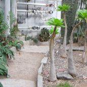 funny elephant foot-like bonsai palms