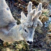 My Deer Friends - Honza's new attire