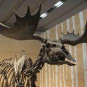 Elch in der neuen Nationalgalerie Berlin