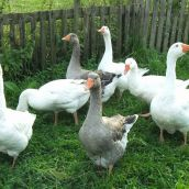 Gooses , chalet Krajinka, Slovakia