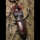 4-SchalekampRonald_Stag Beetle enjoying a meal