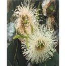 4-RothsteinB-EucalyptusBlossoms