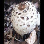 6-RothsteinB-Fungal Globe