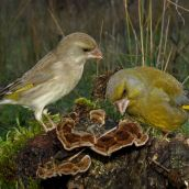 5-GonzalezJF-Greenfinches