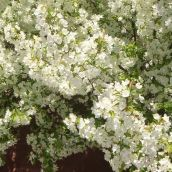 4-MitofskyElizabeth-White Flowering Tree