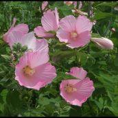 4-GaucheP-OhioWildflowers_3