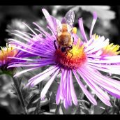 2-BuecheJ-Pollenation