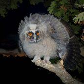 1-GonzalezJF-Eyes of owl