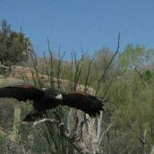 BallouJ-Raptor In Flight