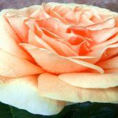 AlfonsoA-Yellow Rose