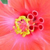 AlfonsoA-Red Hibiscus