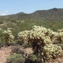 MitofskyL-02-Cholla Cacti by Vulture Peak