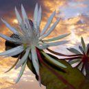 AlfonsoA-04-Epiphyllum oxypetalum D