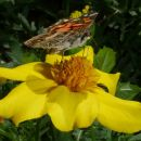 6-NygrenL-Painted Lady