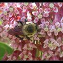 6-CarmerC-Bumble Bee on Milkweed Flower