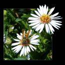 5-CarmerC-European Paper Wasp on Heath Aster Wildflower
