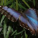 4-NygrenL-Blue Morpho