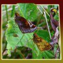 3-CarmerC-Zabulon Skipper Butterflies