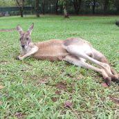 Australian Icon being lazy