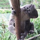Koala Hanging Out