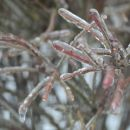 Icy Twigs 2