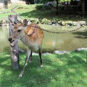Japan - Deer By The Pond