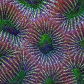 Favites coral macro