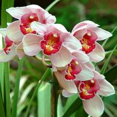 White Orchid Cluster