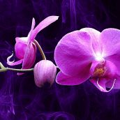 Dream Orchid