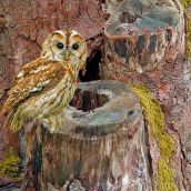 Wildlife series (Tawny Owl)