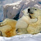 Wildlife Series (1) Polar Bears