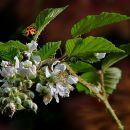 Blackberry Bloom