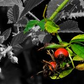 Autumn rose hips