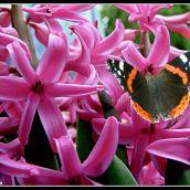 Hyacinth Cluster