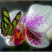 Nectar Seeker.