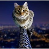 Dare Devil Cat.