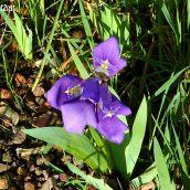 Violet Lily